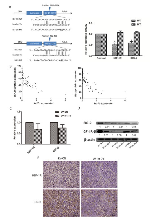 let-7b downregulated protein expression of IGF-1R and IRS-2 by targeting their 3'UTRs.
