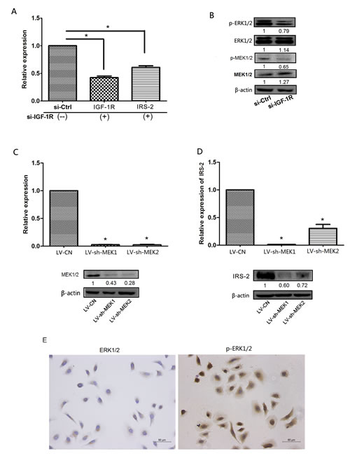 IGF-1R increased the expression of IRS-2 through the promotion of ERK1/2 phosphorylation.