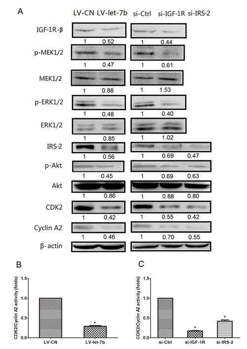 IGF-1R-mediated let-7b inhibited expression of cell cycle proteins through regulation of the Akt mediated by p-ERK1/2.