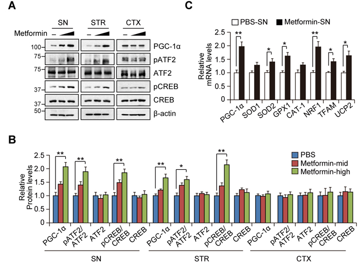 Region-specific induction of PGC-1α by metformin treatment