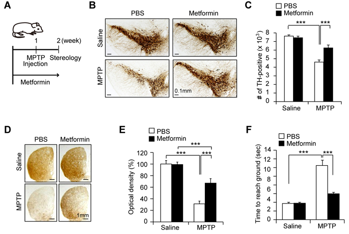 Dopamine neuron protection by metformin in the MPTP mouse model.