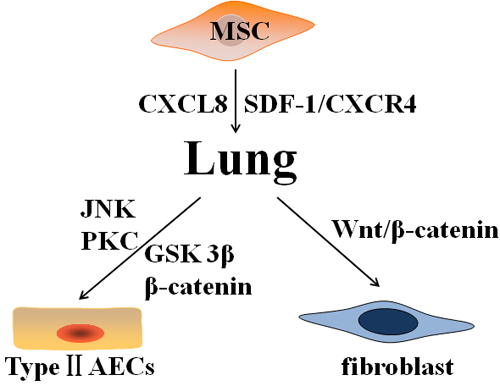Various differentiations of mesenchymal stem cells after homing to the injured lung.