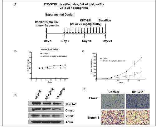 In vivo anti-tumor efficacy and molecular mechanism of action of KPT-251.