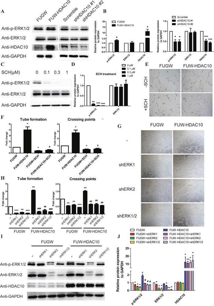 ERK1/2 functions downstream of HDAC10 in the pathway regulating angiogenesis.