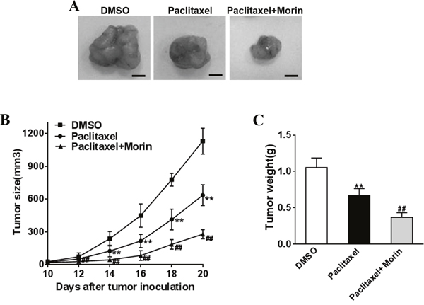 Morin enhances the sensibility of prostate cancer cells to paclitaxel in vivo.