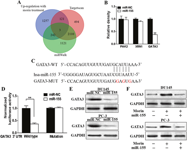Morin induced miR-155 directly targets GATA3.