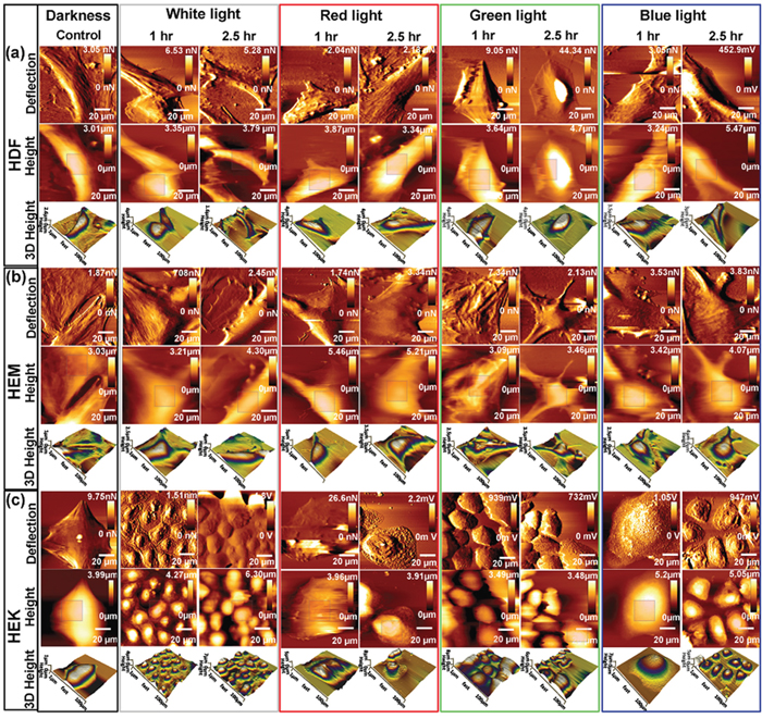 Bio-AFM images (vertical deflection, height, and 3D height) of living skin cell lines upon exposed to different color light at different time points.