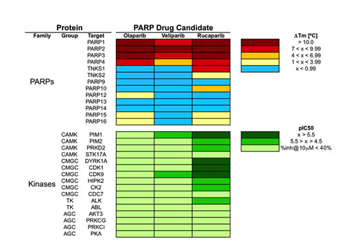 Pharmacological profile of olaparib, veliparib and rucaparib across 29 proteins, including 13 PARPs and 16 kinases.