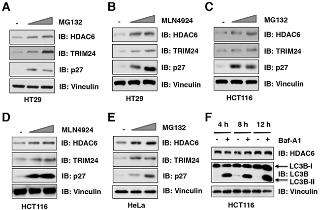 The ubiquitin proteasome system, but not autophagosome-lysosome, controls the protein stability of HDAC6 in cells.