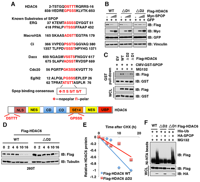 Deletion of the degron motif in HDAC6 confers resistance to SPOP-mediated degradation.