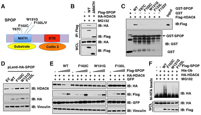 Cancer-associated SPOP mutants fail to interact with and promote the degradation of HDAC6 in cells.