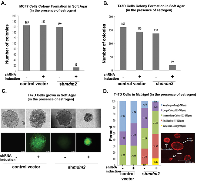 MDM2 depletion in estrogen-treated breast cancer cells inhibits colony formation in 3D culture conditions.