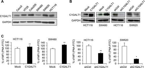 C1GALT1 expression in colon cancer cells.