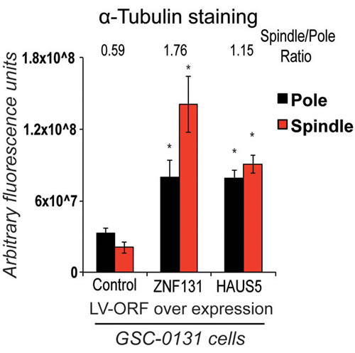 Overexpression of either ZNF131 or HAUS5 kd cause increased MT-nucleation along the mitotic spindle and at spindle poles.