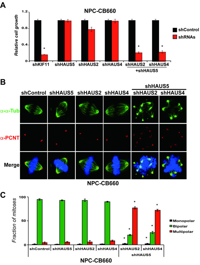 Combinatorial kd of HAUS5+HAUS2 or HAUS5+HAUS4 cause centrosome fragmentation and multipolar spindle formation in NPC-CB660 cells.