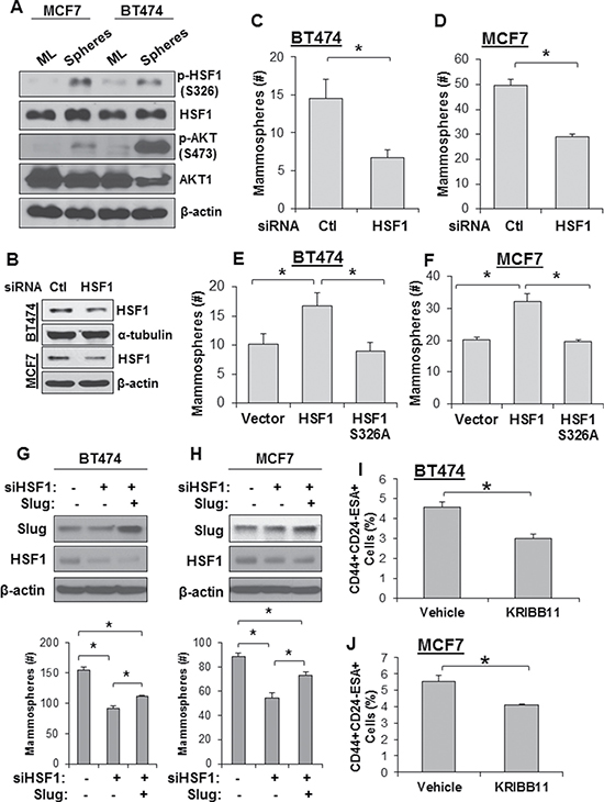 Loss of HSF1 activity reduces growth of mammospheres and breast cancer stem cells.