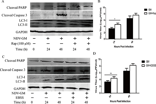 Induction of autophagy by rapamycin (Rap) or Earle's balanced salt solution (EBSS) blocks apoptosis but promotes NDV replication in CEF cells.