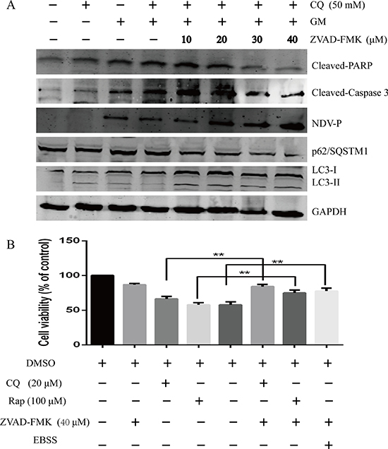 Inhibition of apoptosis precedes the enhanced induction of autophagy and the NDV-stimulated survival pathway.