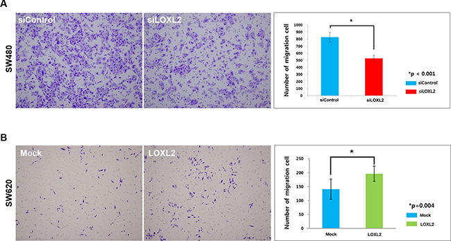Migratory potential alterations induced by the changes in LOXL2 expression.