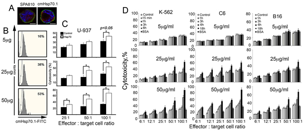 Fig 2: Exogenous Hsp70 introduced in cell culture increases the activity of cytotoxic lymphocytes towards cancer cells of various lines in dose-dependent manner.
