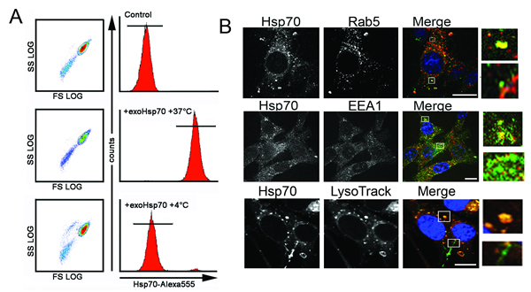 Fig 5: Exo-Hsp70 is internalized by cancer cells employing the mechanisms of active transport.