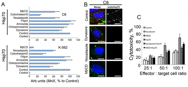 Fig 6: Inhibition of exo-Hsp70 transport reduces self Hsp70 surface exposition and weakens sensitisitation to cytotoxic cells.