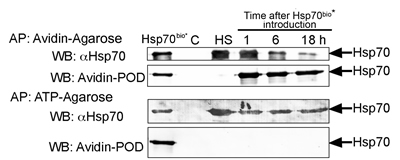 Fig 7: Exogenous Hsp70 provokes its own cycling and release of endogenous chaperone from C6 tumour cells.