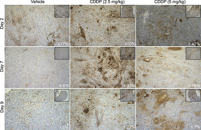 In vivo CD70 protein analysis upon CDDP-treatment.