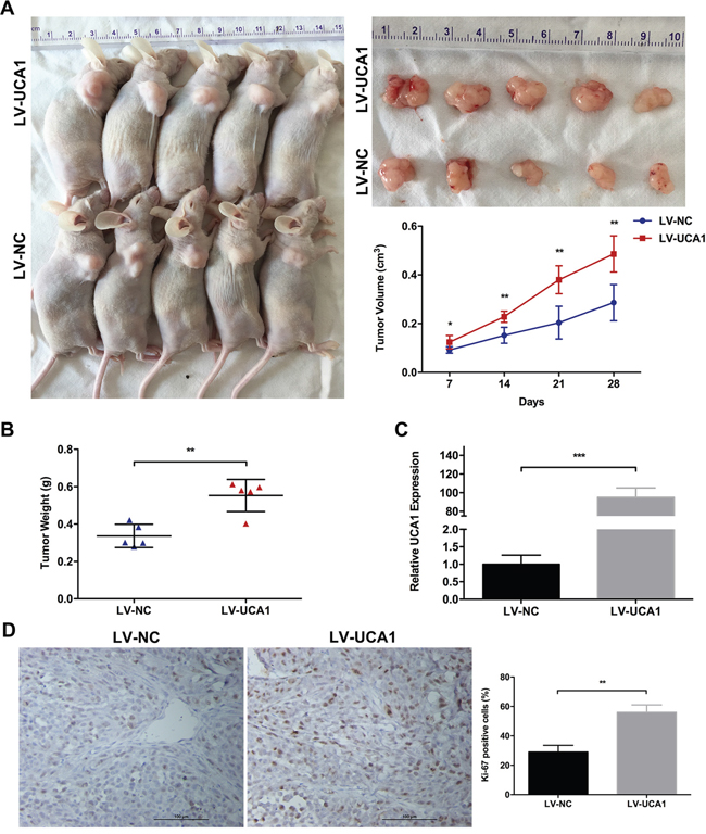 Effect of UCA1 overexpression on tumor growth in vivo.