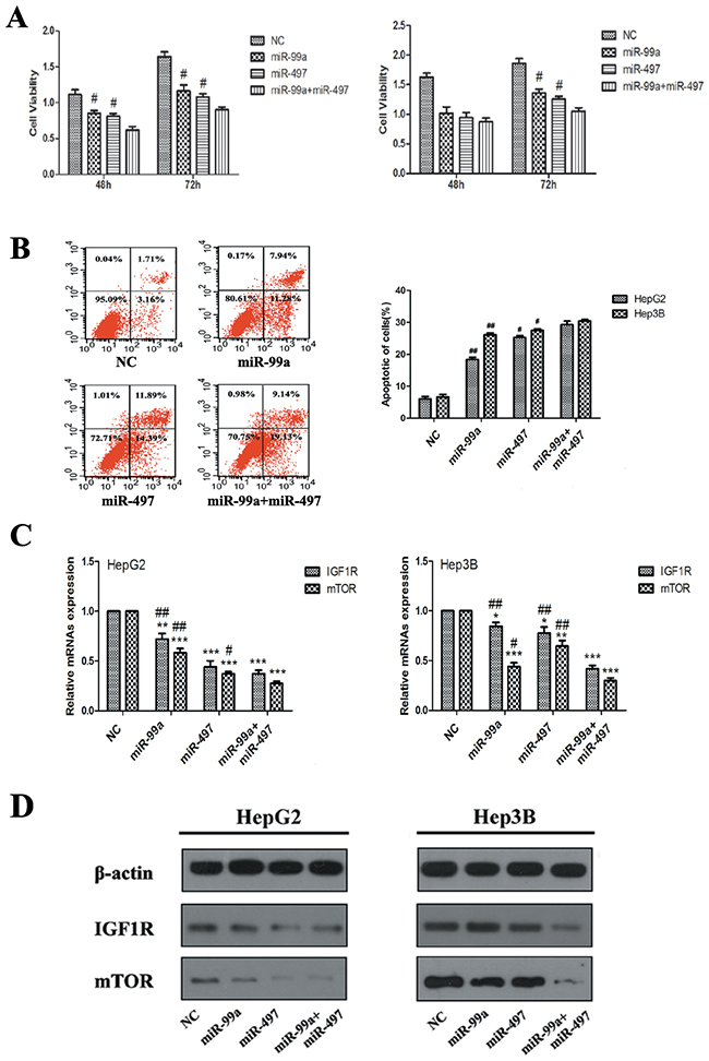 Synergistic effects of miR-497 and miR-99a on retarding HCC cell proliferation, which related with synergistic co-targeting on IGF1R and mTOR.