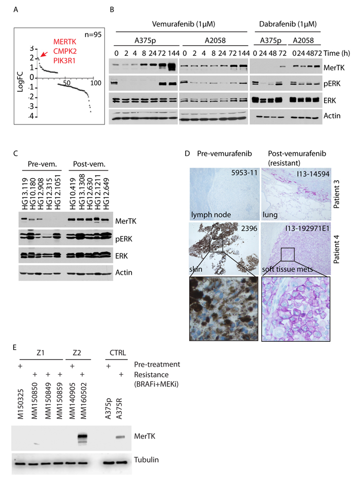 Vemurafenib triggers oncogenic MerTK upregulation in BRAF