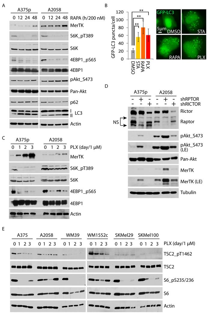 Vemurafenib upregulates MerTK through the mTORC1/autophagy signaling axis.