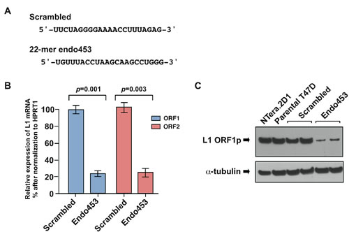 Endo453 sequence controls L1 expression.