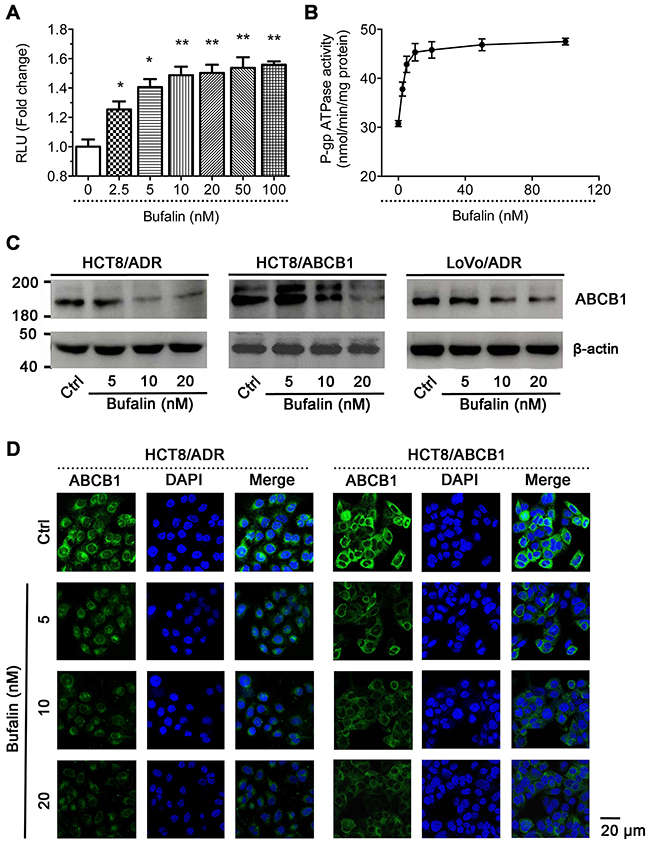Effect of BU on ABCB1 ATPase activity and the protein expression of ABCB1.