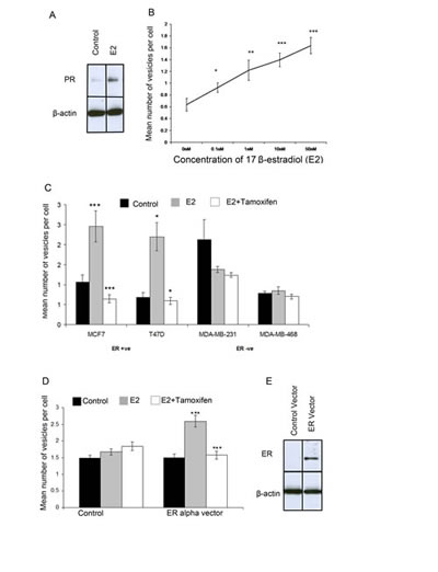 Giant vesicle production is regulated by 17β-estradiol (E2) via ERα.