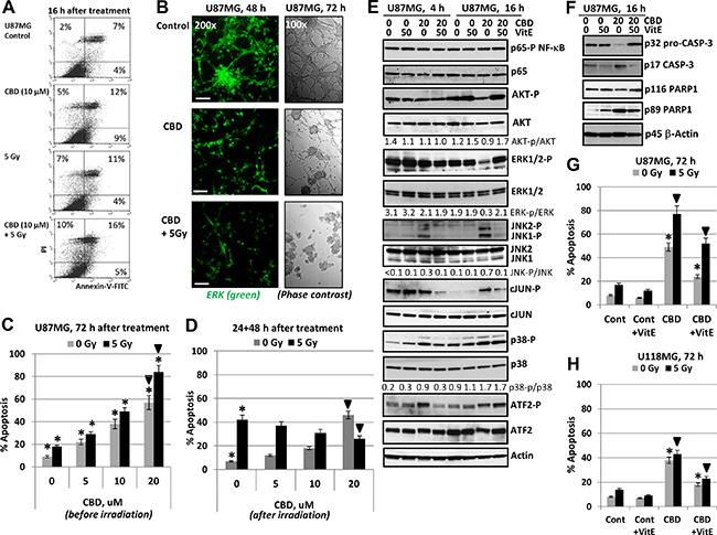 Regulation of cannabidiol (CBD)- induced apoptosis in human U87MG glioblastoma cells.