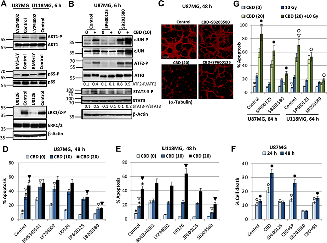 Effects of small molecule inhibitors of cell signaling pathways on modulation of CBD-induced apoptosis in U87MG and U118MG glioblastoma cells.