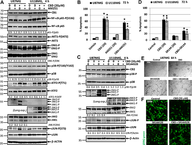 Effects of cannabidiol (CBD) alone or in combination with (i) AM251, an antagonist of CB1-receptor mediated signaling cascades, (ii) SR144528, an antagonist of CB2-receptor mediated signaling cascades, on main signaling pathways and apoptosis in U87MG and U118MG glioblastoma cell lines.