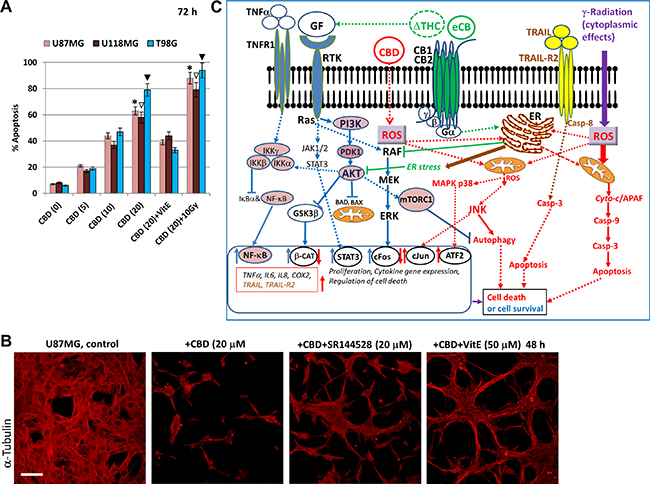 Effects of cannabinoids and γ-irradiation on cell signaling pathways and regulation of apoptosis in glioblastoma cells.