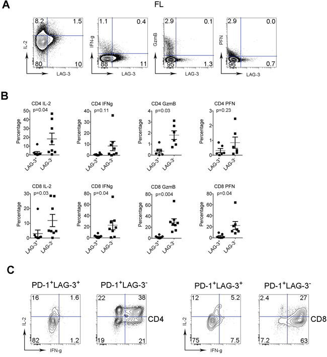 The function of intratumoral LAG-3+ T cells is reduced.