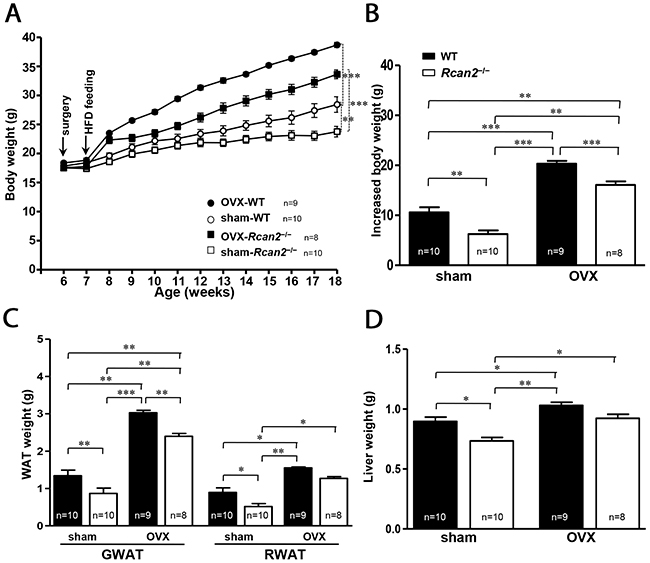 Figure 5:Changes in body and adipose tissue weights of WT and Rcan2−/− mice after sham-operation or bilateral ovariectomy fed on a HFD.