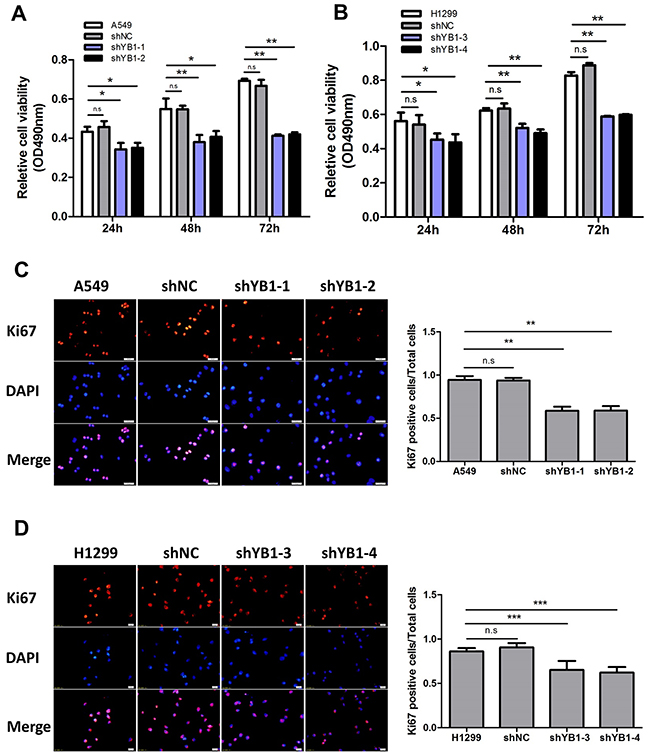 Inhibition of YB-1 diminishes proliferation of lung adenocarcinoma cells.