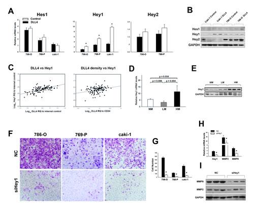 Hey1 mediates DLL4/Notch signaling in RCC hematogenous metastasis.
