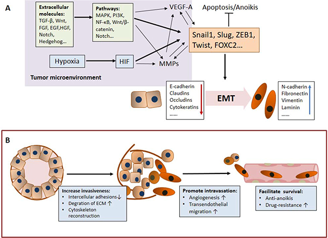 The mechanisms underlying the role of EMT in CTC generation.