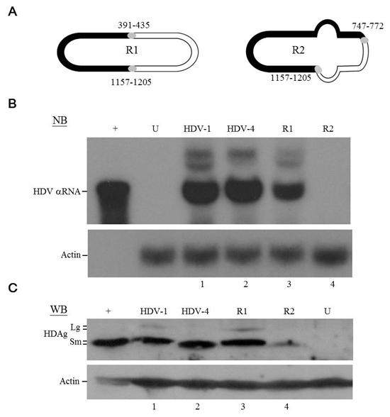 HDV replication and HDAg expression of recombinant HDV.
