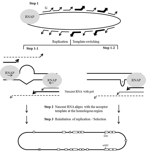 Schematic description of the hypothesized template-switching mechanism for HDV RNA recombination.