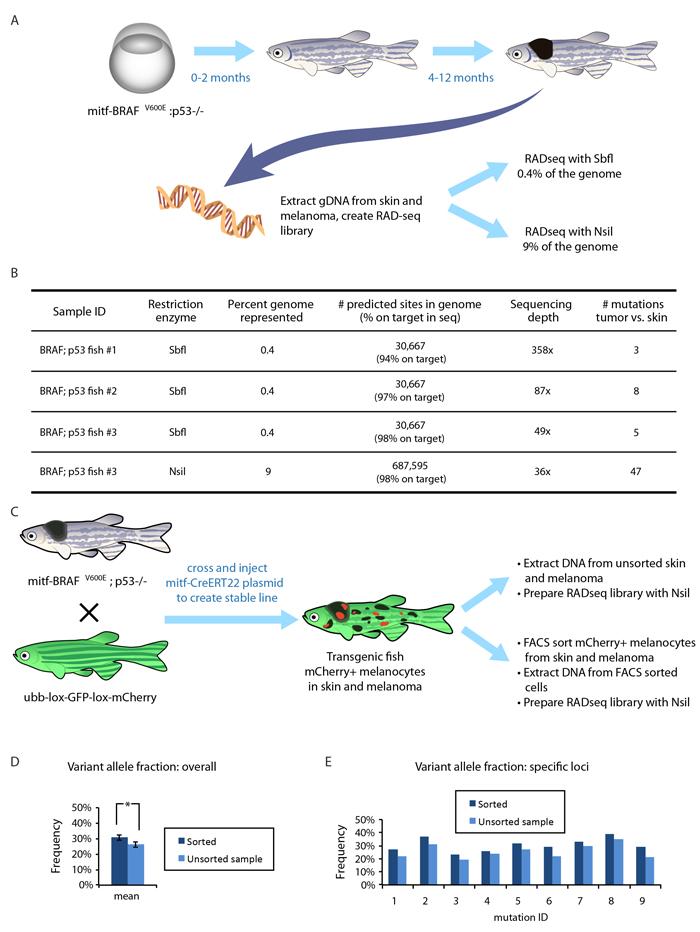 Applying RADseq to a zebrafish model of melanoma.