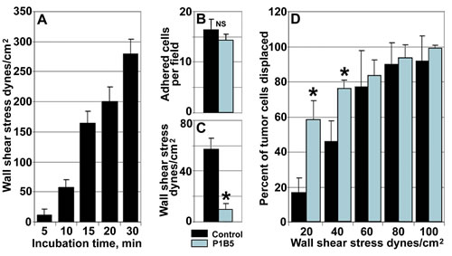 Endothelial integrin α3β1 stabilizes tumor/endothelial cell adhesion.