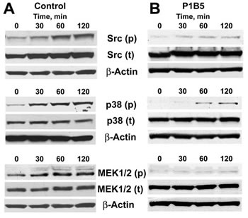 Activation of major signaling pathways in endothelial cells downstream of integrin α3β1.