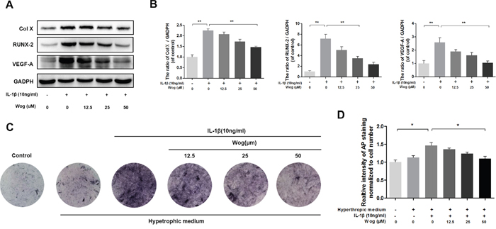 Wogonoside inhibit hypertrophic conversion and VEGF generation in mice chondrocyte.